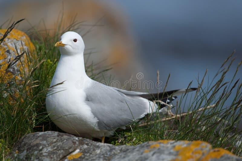 Common gull stock photo