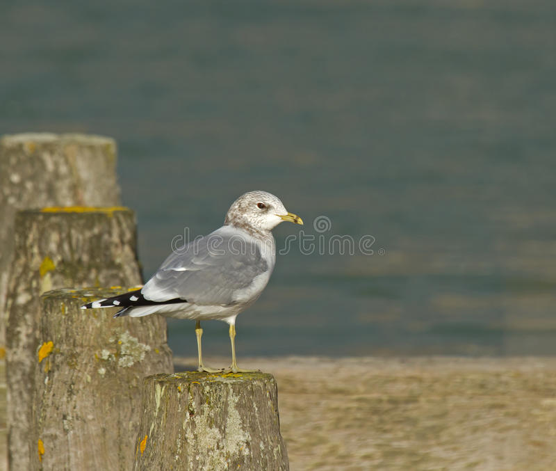 Common Gull. In winter plumage stock images