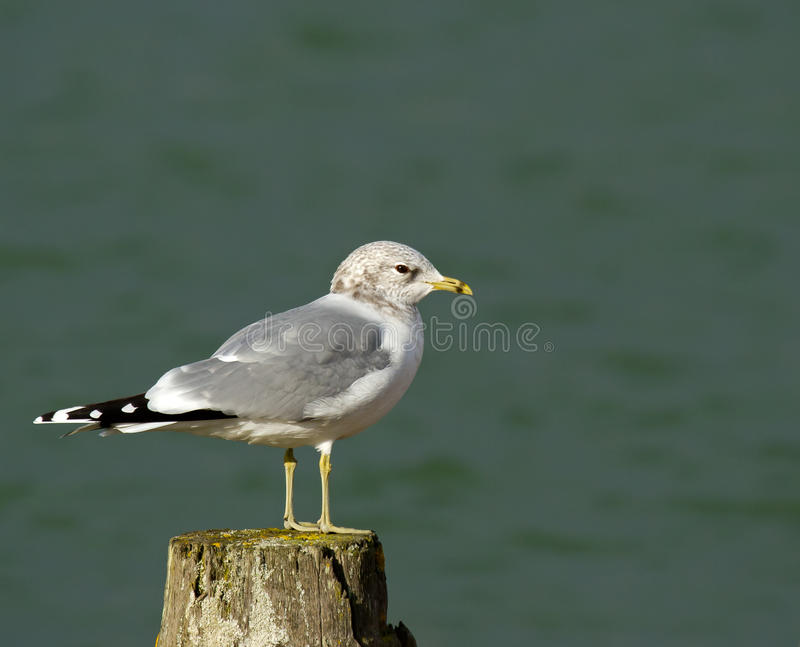 Common Gull. In winter plumage royalty free stock image
