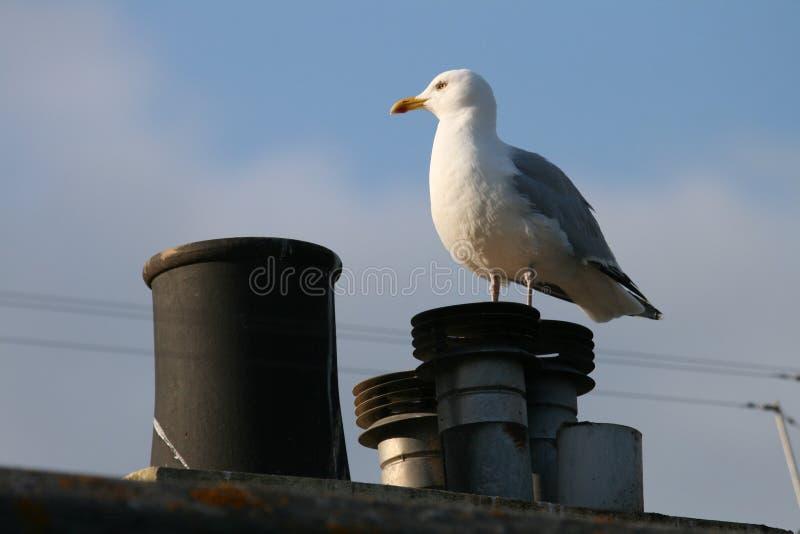 Common Gull stock photography
