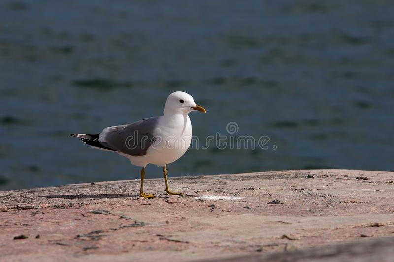 Common gull. Larus canus side view standing on rock with the sea behind royalty free stock photography