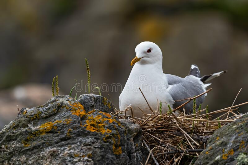 Common Gull - Larus canus royalty free stock images
