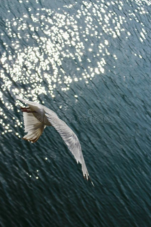 Common Gull, Larus Canus, diving down towards open sea from behind with early morning sunlight glistening on the water. royalty free stock photos