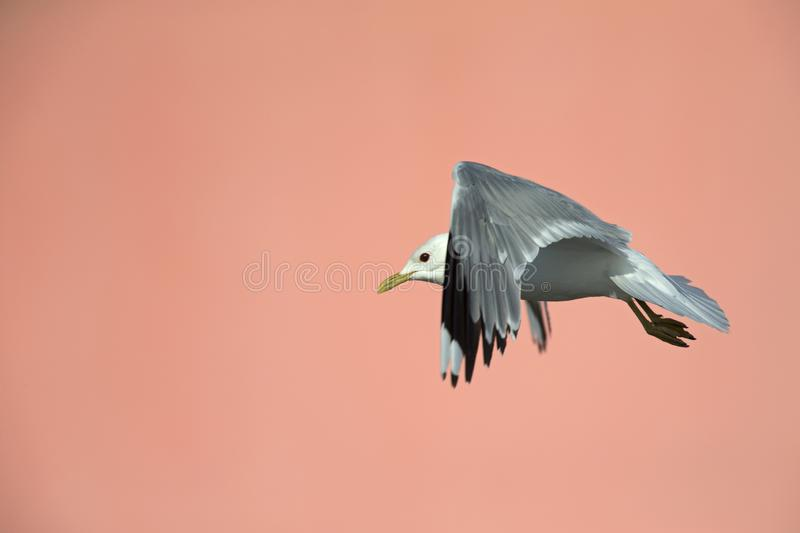 A common gull or mew gull Larus canus flying infront of a pink building in the ports of Bremen Germany. stock image