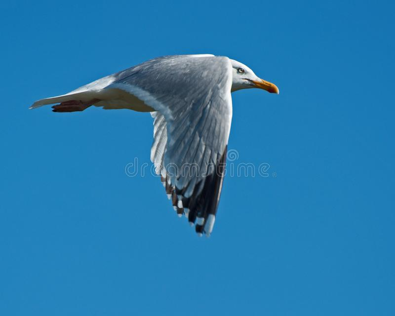 Common Gull, Larus Canus flying over a sea. Common Gull, Larus Canus flying just over a sea outside Sweden stock image