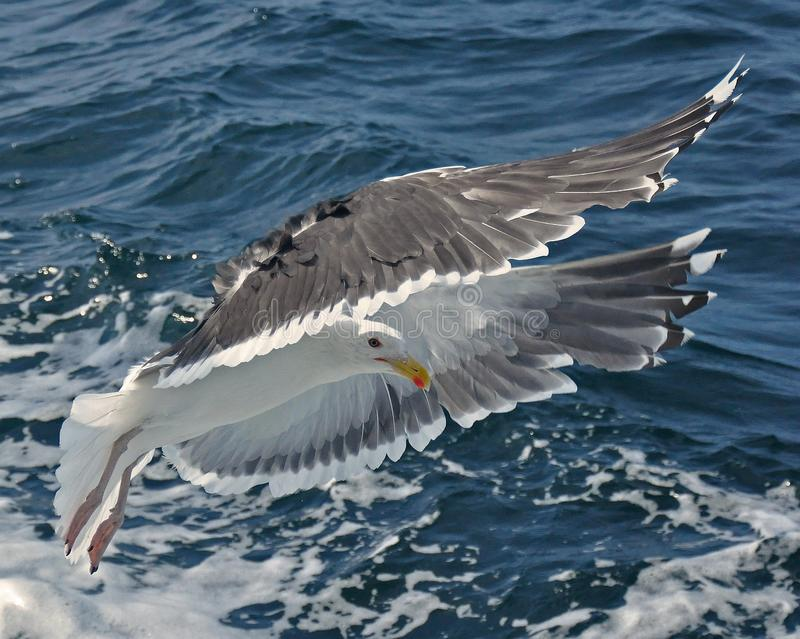 Common Gull, Larus Canus. Flying just over a stormy sea outside Sweden stock photo