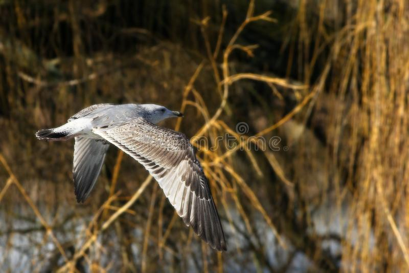 The common gull Larus canus flying over the lake stock image