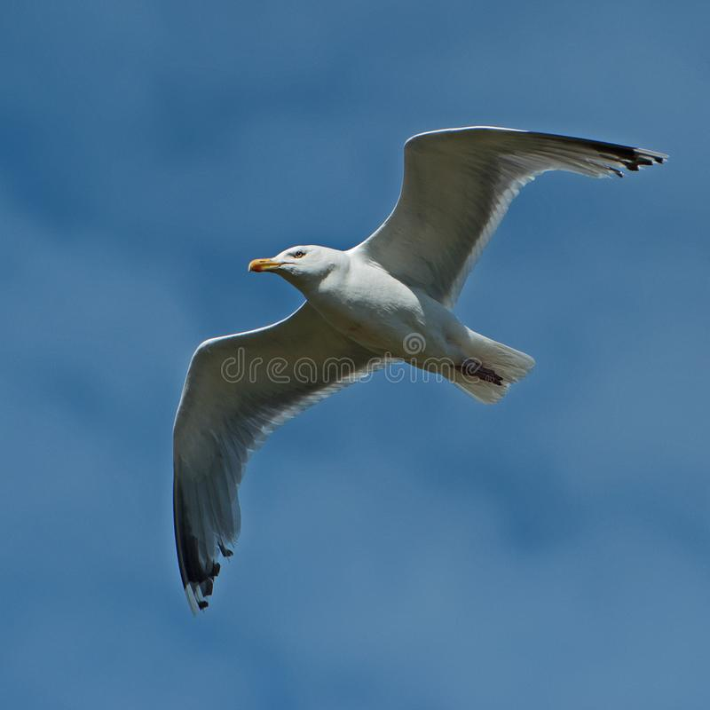 Common Gull, Larus Canus flying over a sea. Common Gull, Larus Canus flying just over a sea outside Sweden stock photos
