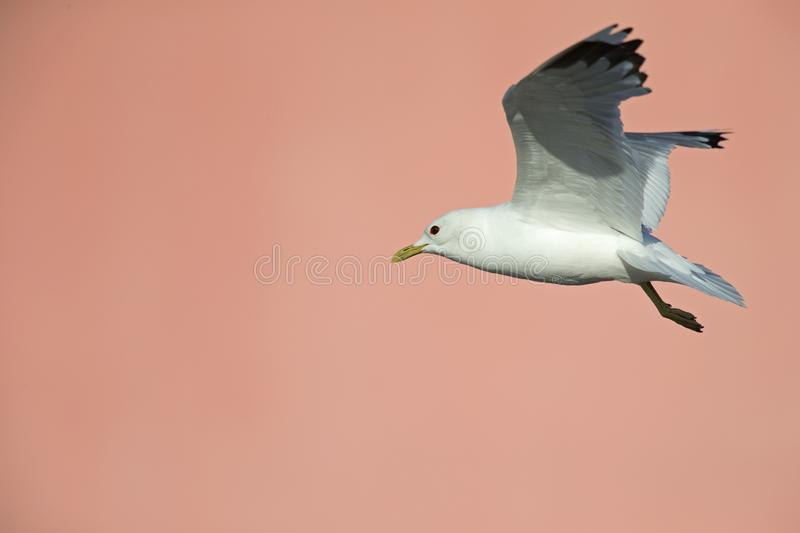 A common gull or mew gull Larus canus flying in front of a concrete pink wall in the ports of Bremen Germany. stock photos