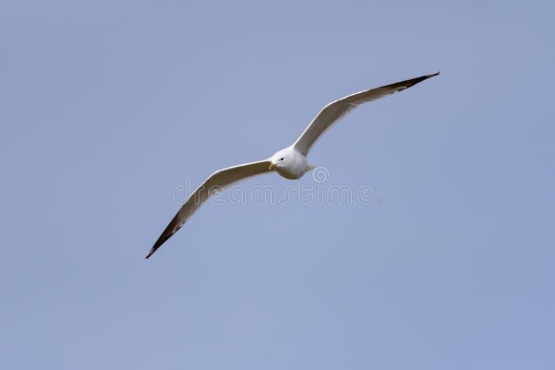 The Common Gull (larus canus) on the german Island Amrum (Oomram) in Germany stock photos