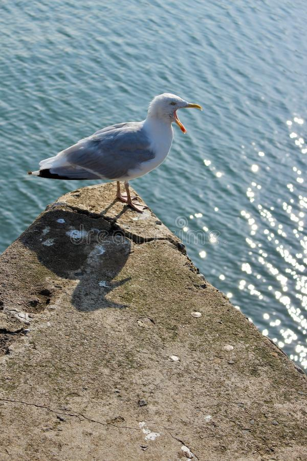 Common Gull, Larus Canus, screaming with wide open beak and tongue out on harbour wall. With comical shadow. royalty free stock photo