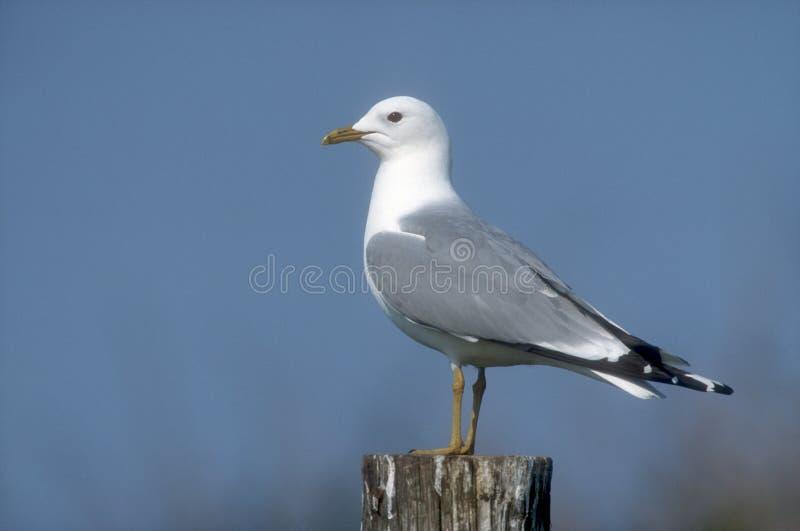 Common gull, Larus canus. Single bird on post, Denmark stock photo