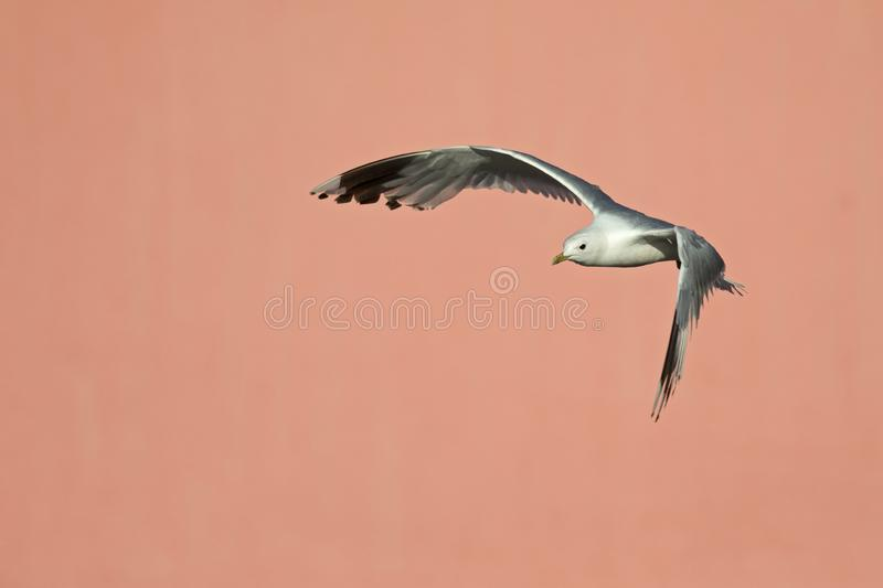 A common gull or mew gull Larus canus flying infront of a concrete pink wall in the ports of Bremen Germany. stock photo
