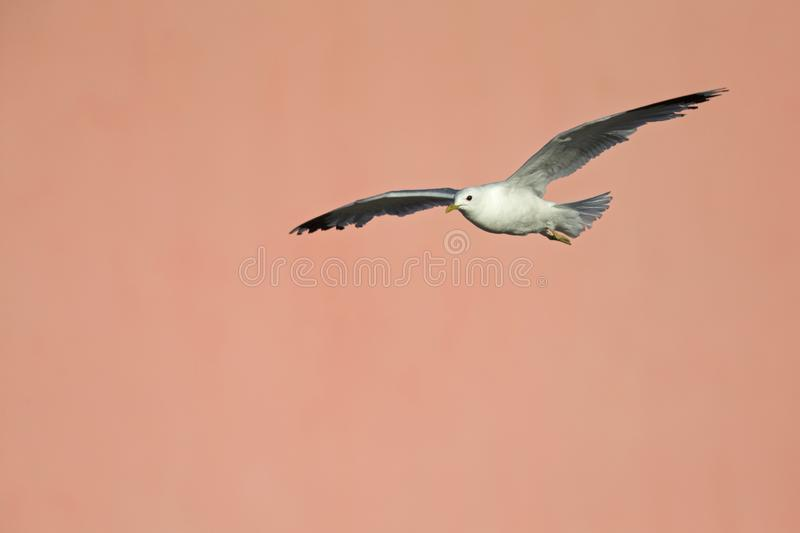 A common gull or mew gull Larus canus flying infront of a concrete pink wall in the ports of Bremen Germany. stock images