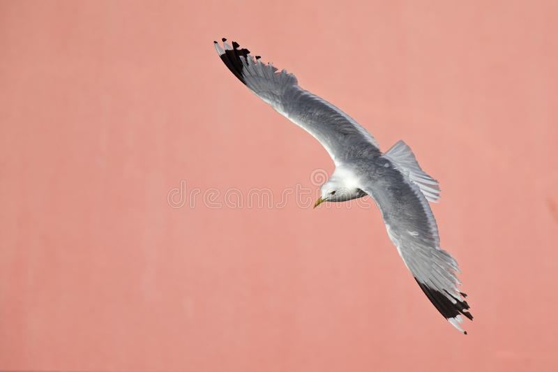 A common gull or mew gull Larus canus flying infront of a concrete pink wall in the ports of Bremen Germany. royalty free stock photography