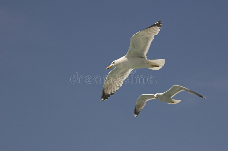 Download Common gulls stock image. Image of aerial, living, animalia - 5236793