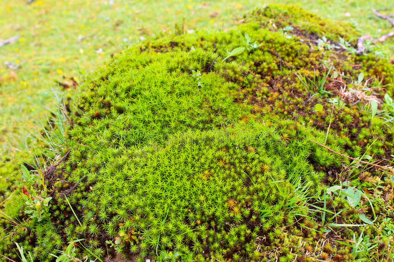 Common haircap moss, star moss (Polytrichum commune). Green common haircap moss, star moss (Polytrichum commune stock photos