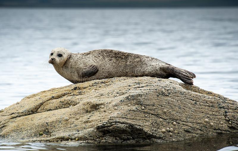Common or Harbour Seal basking on rock royalty free stock images
