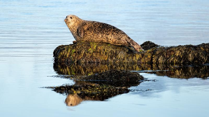 Common or Harbour seal enjoying quiet seas stock image