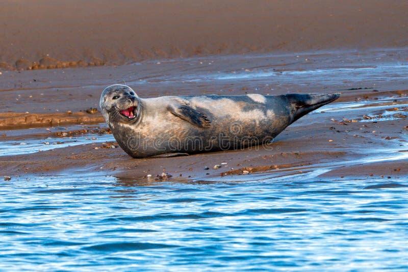 Common or Harbour Seal - Phoca vitulina, yawning. stock photo