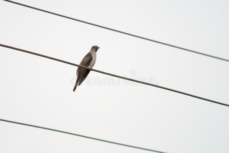 Common Hawk Cuckoo or brain fever bird royalty free stock image