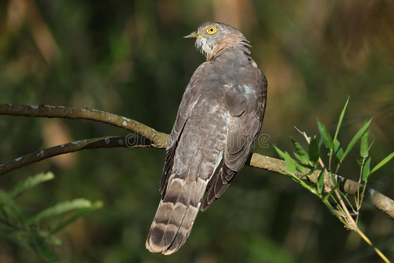 Common hawk-cuckoo stock photos