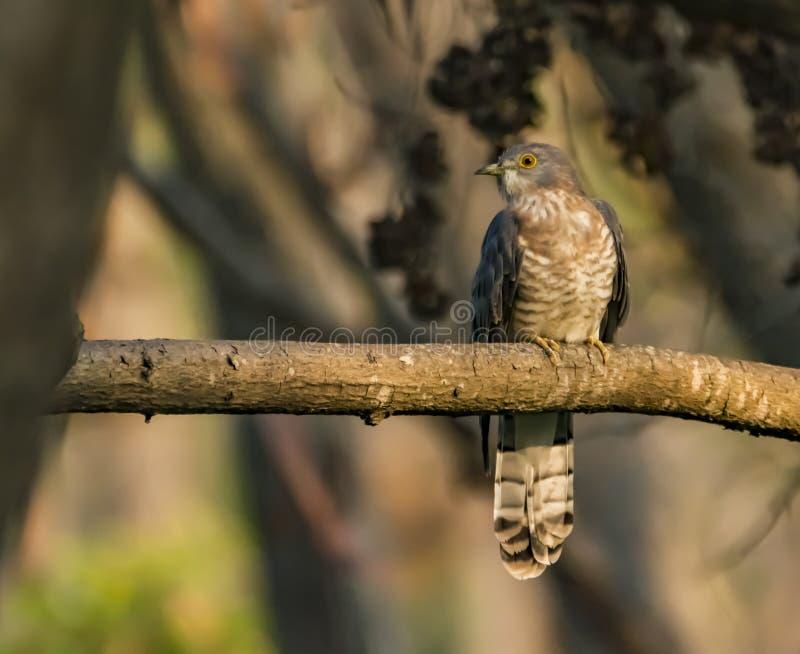 Common hawk-cuckoo or the Hierococcyx varius stock photo