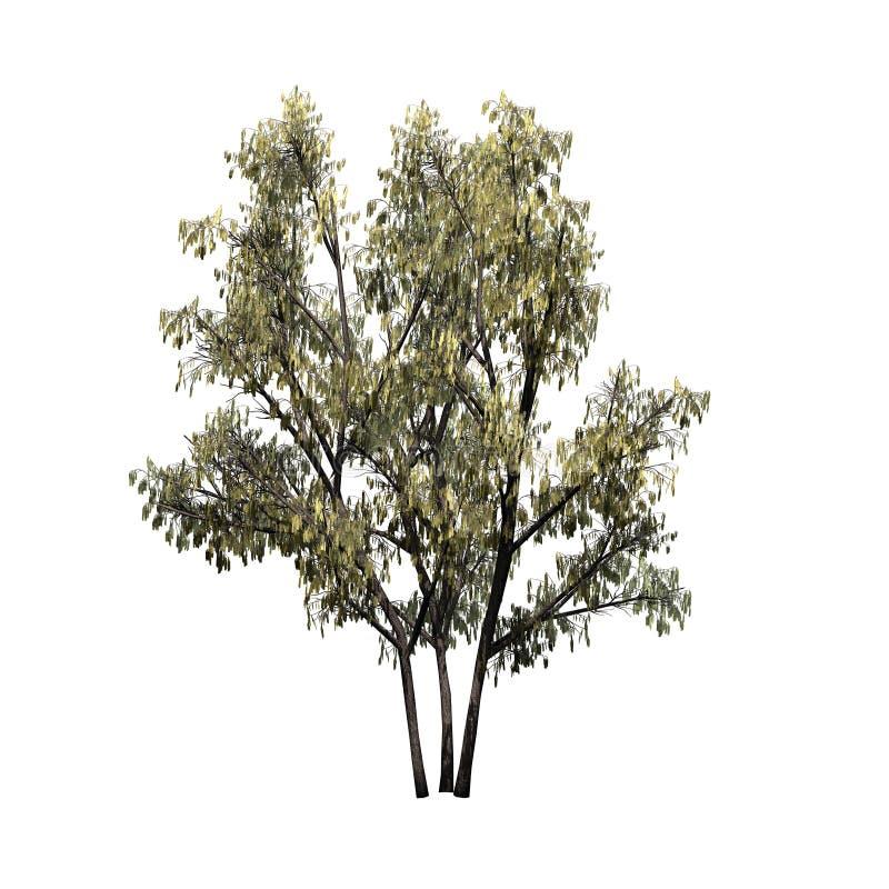 Common Hazel bush with catkins royalty free illustration