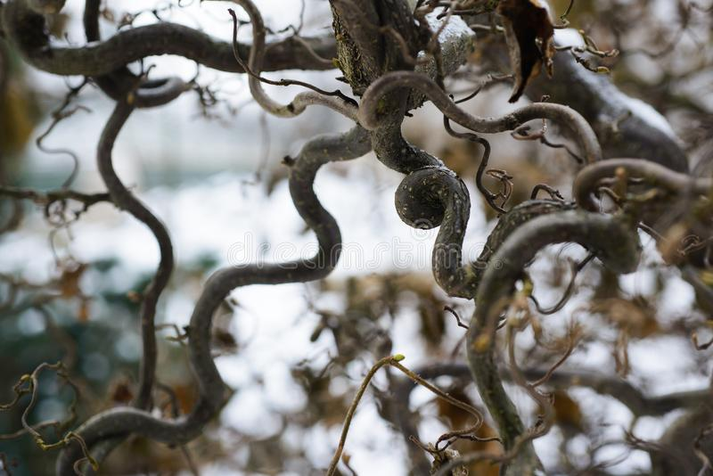 Common hazel `Contorta` Corylus avellana stock photography