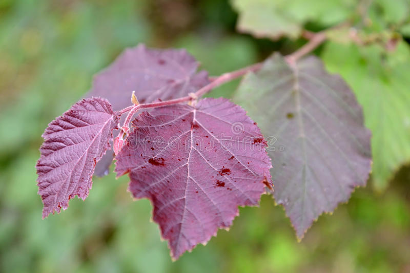 Common hazel, form dark-purple Corylus avellana L. H.Karst. f. Purpurea, a branch with leaves stock image