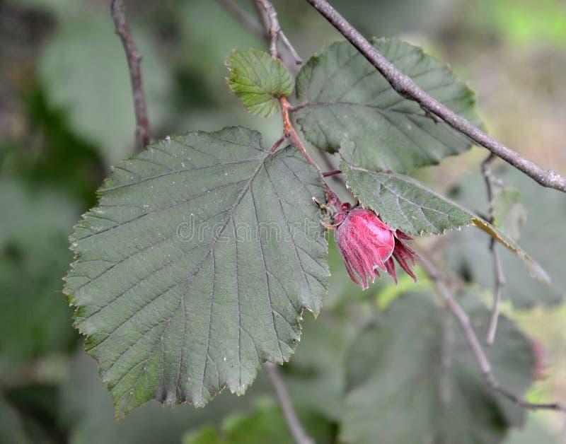 Common hazel, form dark-purple Corylus avellana L. H.Karst. f. Purpurea, a branch with nut stock photos