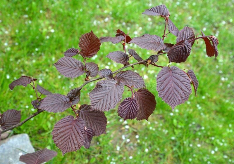 Common hazel, form purple Corylus avellana L. H.Karst. f. Purpurea, a branch with spring leaves royalty free stock photos