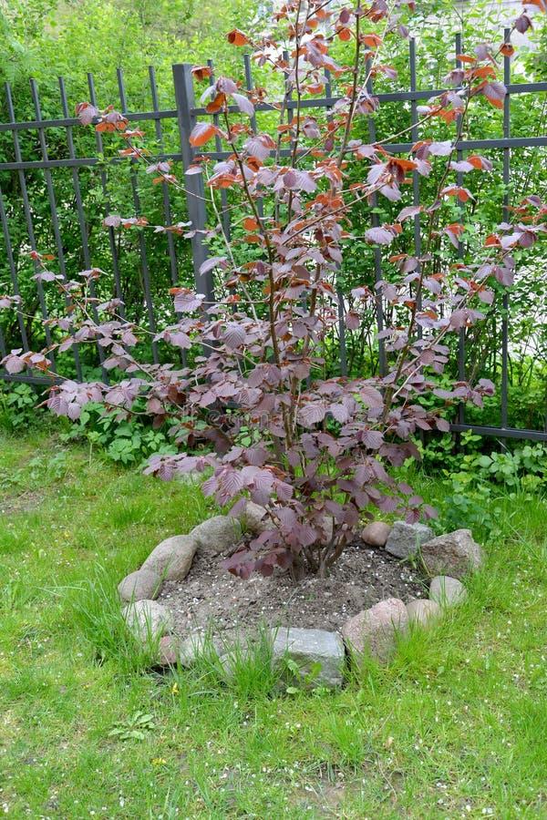 Common hazel, form purple Corylus avellana L. H.Karst. f. Purpurea, a bush in a garden.  royalty free stock image