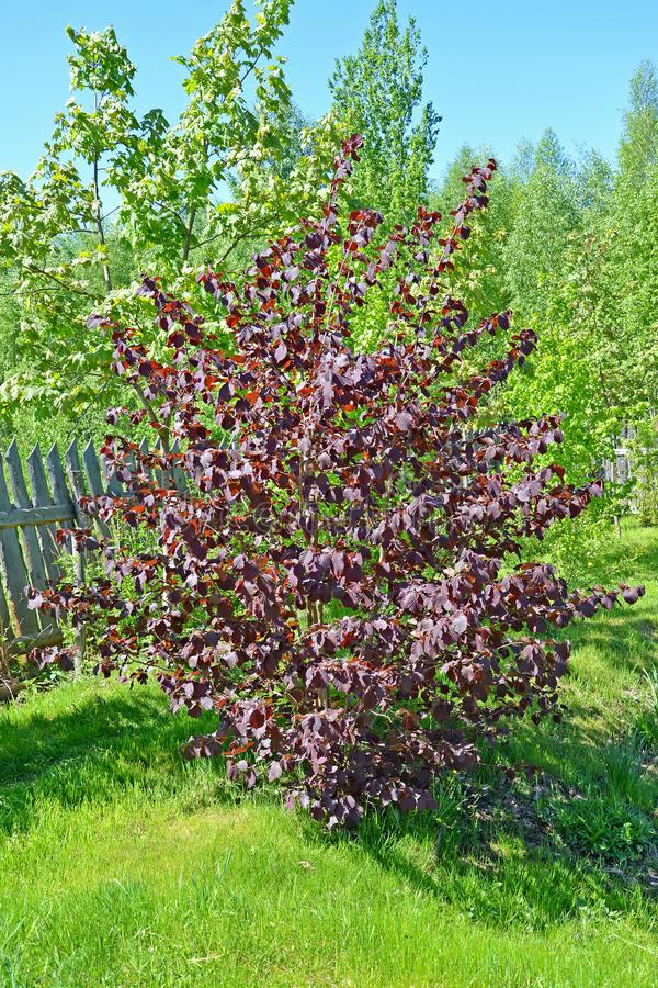 Common hazel, form purple Corylus avellana L. H.Karst. f. Purpurea, general view royalty free stock photo