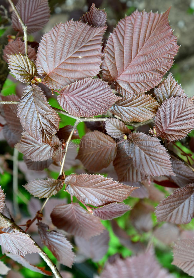 Common hazel, form purple Corylus avellana L. H.Karst. f. Purpurea, leaves close up stock images