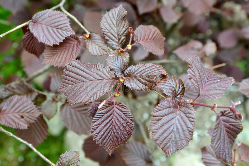Common hazel, form purple Corylus avellana L. H.Karst. f. Purpurea, spring leaves royalty free stock photos