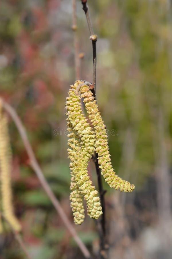 Common hazel. Latin name - Corylus avellana stock photos