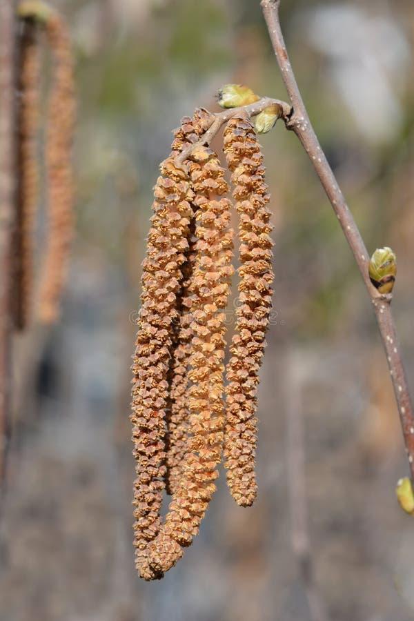 Common hazel. Latin name - Corylus avellana royalty free stock photo