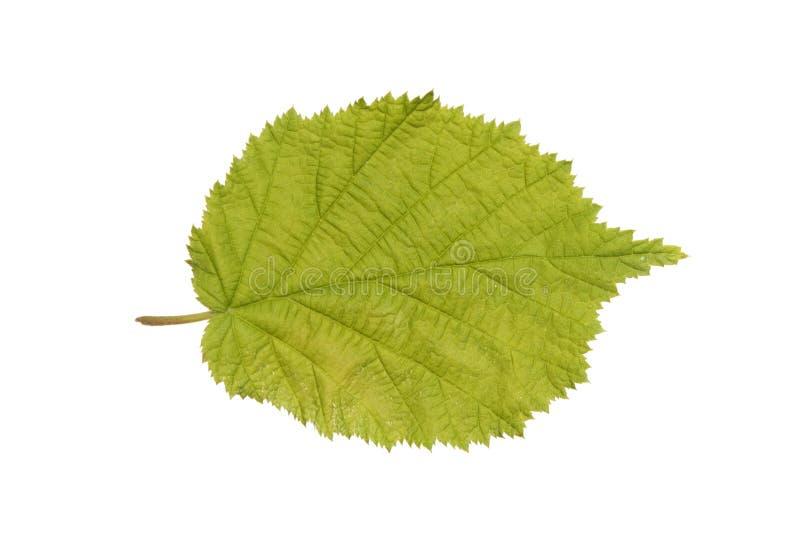 Common Hazel leaf isolated on white. Common Hazel (Corylus avellana) leaf isolated on white stock image