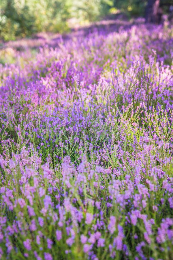 Common heather royalty free stock photography