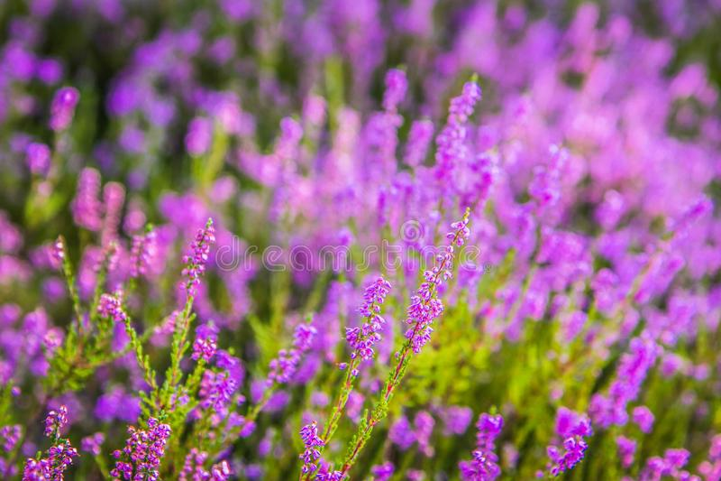Common heather royalty free stock images