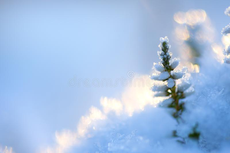 Common heather flowers covered with ice crystals and snow royalty free stock photography