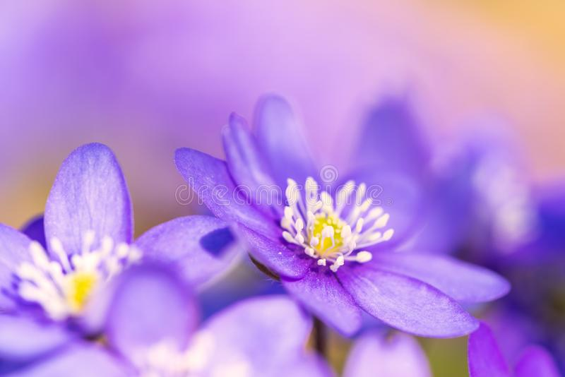 Common hepatica with friends on a sunny spring day royalty free stock photography