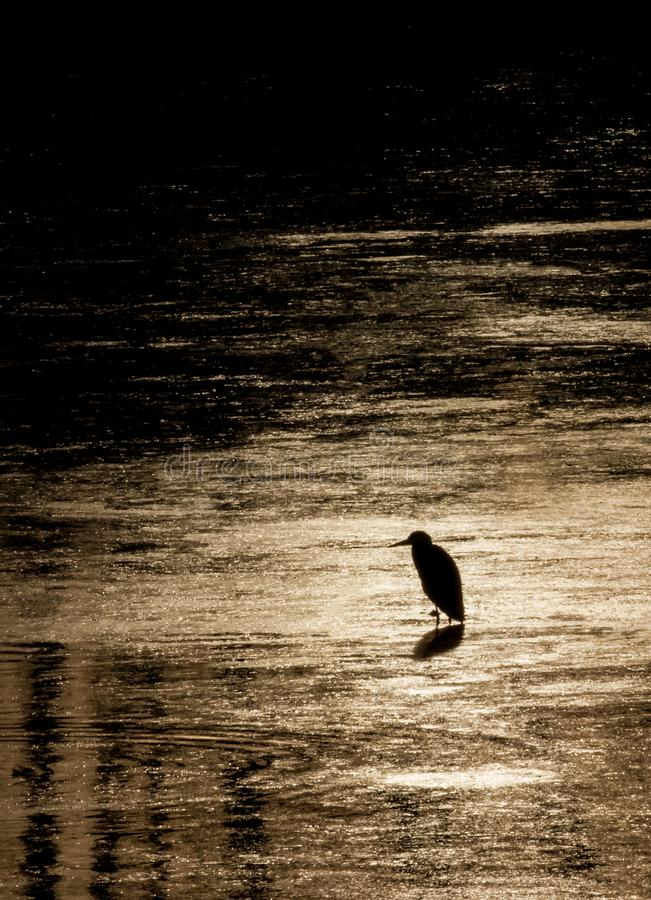 Silhouette of heron stalking for food during beautiful sunset in river Bosut.tif. Common heron standing on the water and stalking fish. Vinkovci, Croatia royalty free stock photos