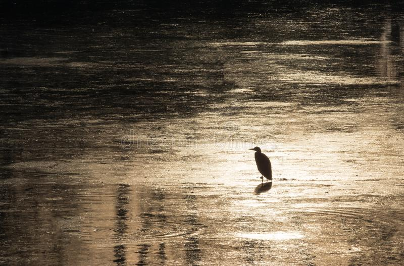 Silhouette of heron stalking for food during beautiful sunset in river Bosut.tif. Common heron standing on the water and stalking fish. Vinkovci, Croatia stock image