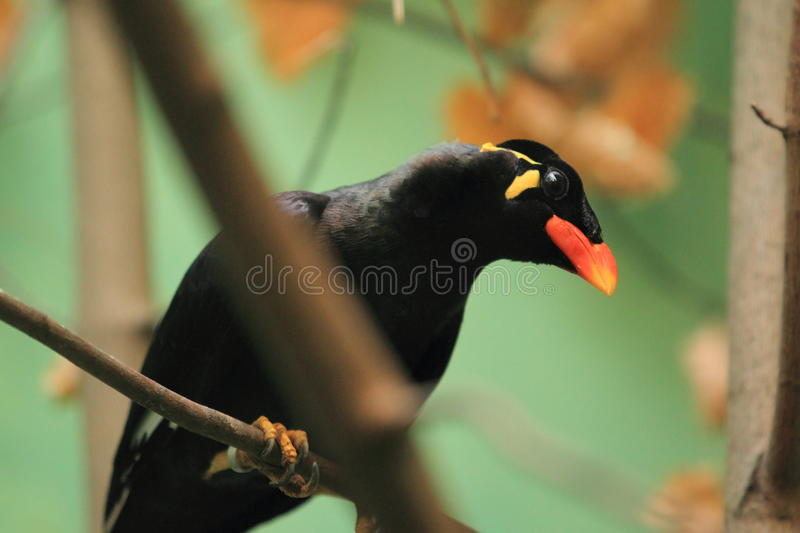Download Common hill myna stock photo. Image of common, adult - 28416482