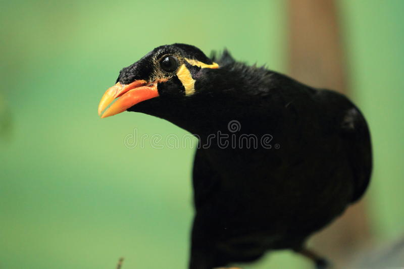 Common Hill Myna Royalty Free Stock Image