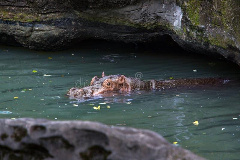 Common hippopotamus take bath in lake. Hippo swims in a pond royalty free stock photo
