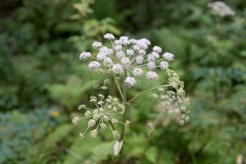 Common hogweed close up. In summer forest in the Karelian Isthmus, Russia royalty free stock photos