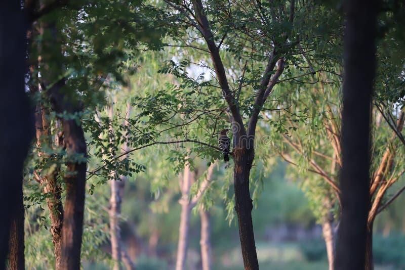Common hoopoe or upupa an Autum day near Bohai sea royalty free stock images